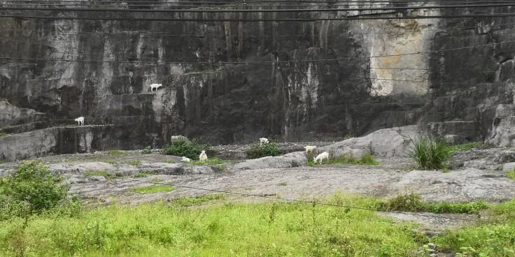 Goat at Ninh Binh